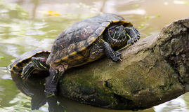 Fresh water turtle Stock Images