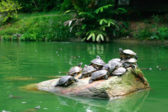 Fresh water turtle. Group of fresh water turtle basking on a stone in a middle of a pond Stock Photo
