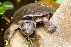 Fresh water Turtle. A fresh water turtle basking on a rock Royalty Free Stock Photo