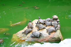 Fresh water turtle basking in the sun Stock Images