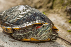 Fresh water turtle. Closeup of a fresh water turtle Royalty Free Stock Images