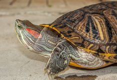 Fresh water turtle. Closeup of a fresh water turtle Royalty Free Stock Photo