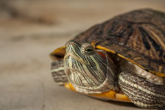 Fresh water turtle. Closeup of a fresh water turtle Stock Photo