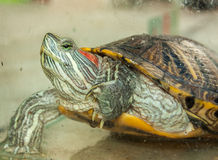 Fresh water turtle. Closeup of a fresh water turtle Stock Photos