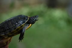 Fresh - water turtle. The fresh - water turtle , a reptile with bony shell developed from their ribs and acting as a shield Royalty Free Stock Image