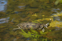 Fresh water turtle swimming in pond. Fresh water turtle swimming in the pond Stock Photos