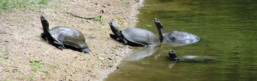 Fresh water turtle Stock Photos