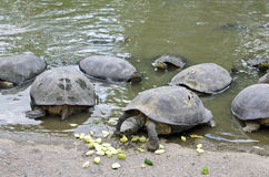 Fresh Water Turtles Eating Cucumber Royalty Free Stock Photos