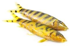 Fresh water zebra fish Stock Photo