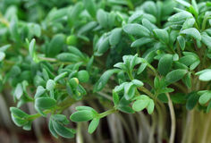 Fresh watercress Stock Photography