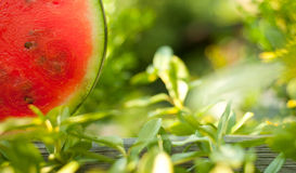 Fresh Watermelon between leaves Royalty Free Stock Image