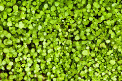 Fresh weed growth in the spring. Royalty Free Stock Image