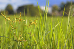 Fresh weed in rice fields Royalty Free Stock Image