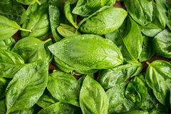 Fresh wet basil Royalty Free Stock Images