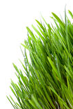 Fresh wet grass. Closeup obackgroundn white Stock Image