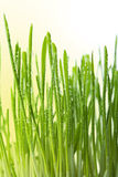 Fresh wet grass background Royalty Free Stock Image