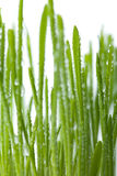 Fresh wet grass background isolated. Over white Stock Photo