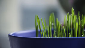 Fresh wet grass in blue pot Royalty Free Stock Photo