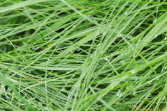 Fresh wet grass after rain Stock Image