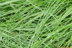 Fresh wet grass after rain Stock Image