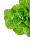 Fresh wet green butterhead salad Royalty Free Stock Image