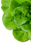 Fresh wet green butterhead salad Stock Photos