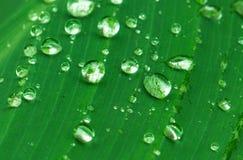 Fresh wet leaf with rain drops. Exotic garden after rain. Water drop on green leaf. Exotic garden after rain. Wet season in tropics. Tropical weather typhoon Stock Photos
