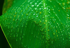 Fresh wet leaf with rain drops. Pure ecology of wild nature. Water drop mass on green leaf. Exotic garden after rain. Wet season in tropics. Tropical weather Stock Images