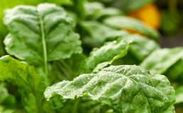 Fresh wet leaves of green beet plant and pumpkin on bed at background, stock photo