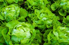 Fresh wet lettuce in the garden. Closeup on fresh wet lettuce in the garden Stock Photo