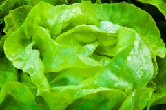 Fresh wet lettuce in the garden. Closeup on fresh wet lettuce in the garden Stock Photography