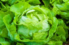 Fresh wet lettuce in the garden. Closeup on fresh wet lettuce in the garden Royalty Free Stock Image