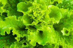 Fresh wet lettuce in the garden Royalty Free Stock Photo