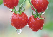 Fresh and wet red cherry tomato in garden. Close up fresh and wet red cherry tomato in garden Royalty Free Stock Images