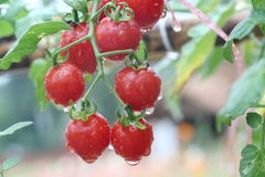 Fresh and wet red cherry tomato in garden. Close up fresh and wet red cherry tomato in garden Royalty Free Stock Photos