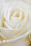 Fresh wet white rose Royalty Free Stock Image