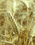 Fresh wheat Stock Image