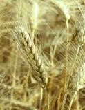 Fresh wheat. Organic food concept , golden wheat Stock Image