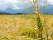 A fresh wheat ear. A close-up of wheat ear on a background with mountains Vector Illustration