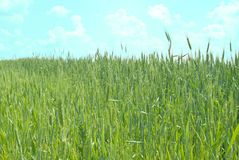 Fresh wheat field Stock Photography