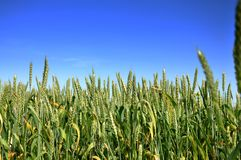Fresh   Wheat field Stock Image