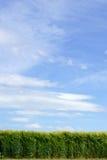Fresh wheat field Stock Image