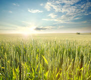 Fresh wheat field in rays of dawn, on background of sky Stock Photos