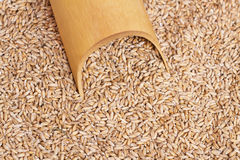 Fresh wheat grains Royalty Free Stock Images