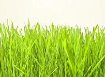 Fresh wheat grass. In front of plain background Royalty Free Stock Photo