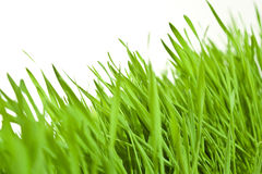 Fresh wheat grass. In front of plain background Royalty Free Stock Photography
