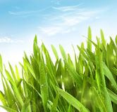 Fresh wheat grass with dew drops. Against blue sky Royalty Free Stock Images