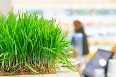Fresh wheat grass Stock Photography
