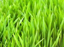 Fresh Wheat Grass Stock Photography
