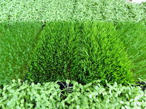 Fresh Wheat Grass for Juicing Royalty Free Stock Images
